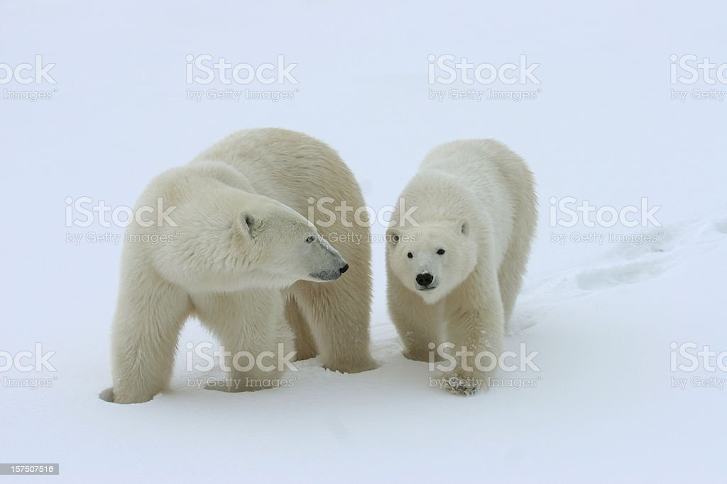 Wild polar bear mother with cub in Canadian Arctic royalty-free stock photo