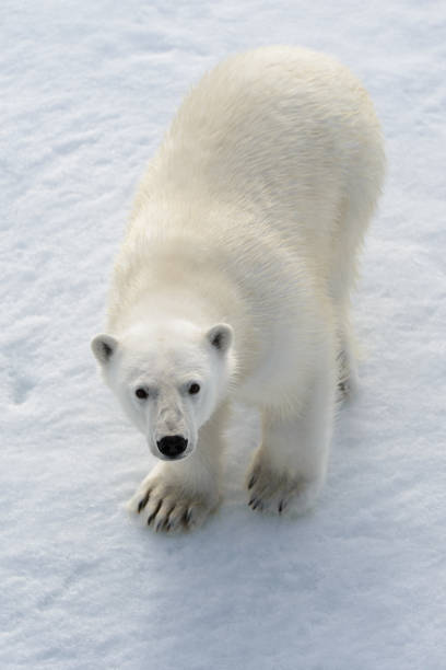 Wild polar bear on pack ice in Arctic stock photo