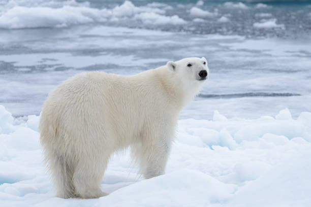 Wild polar bear on pack ice in Arctic sea close up stock photo