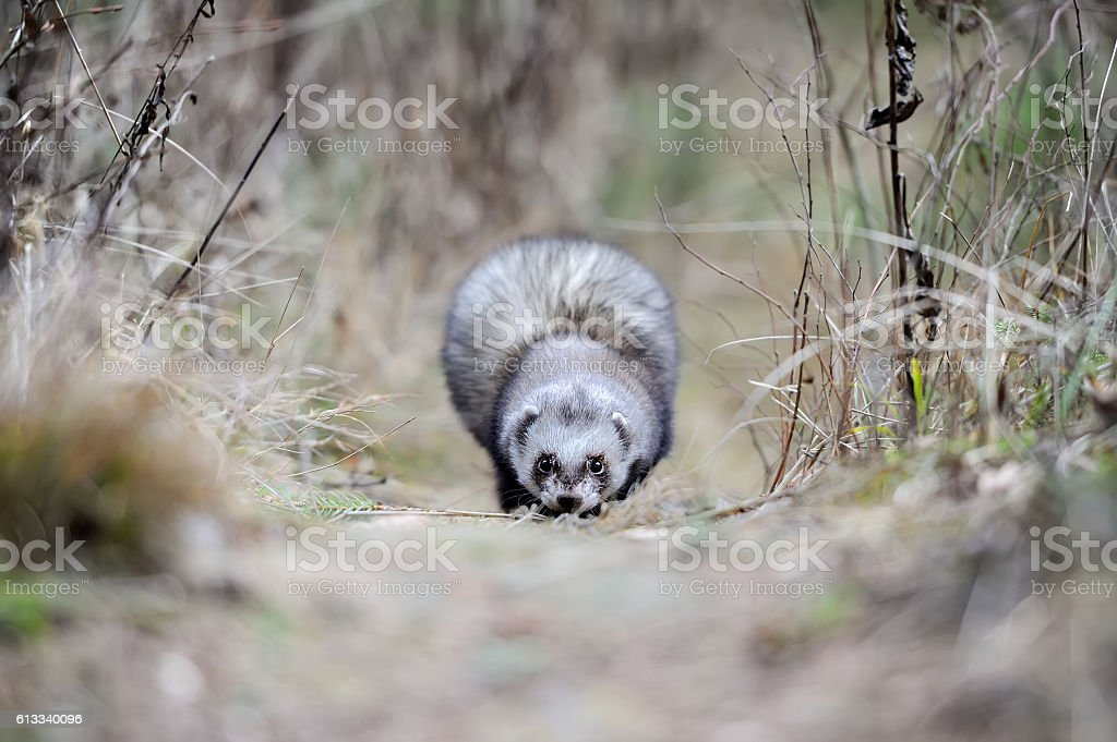 Wild polecat in forest stock photo