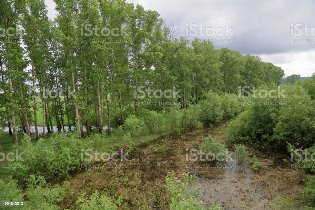 Wild pond with duckweed royalty-free stock photo