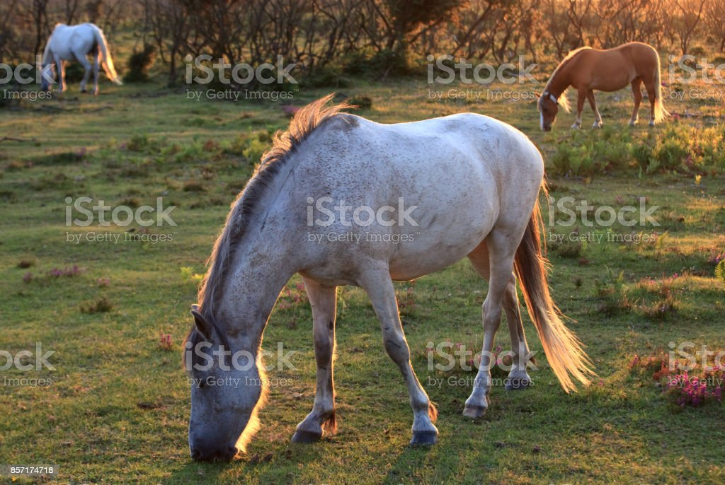 Wild Ponies Grazing in the New Forest stock photo