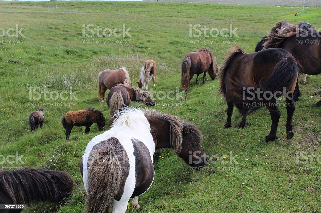 Wild ponies grazing Lizenzfreies stock-foto