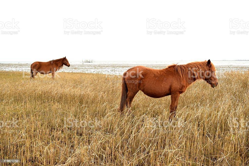 Wild Ponies on the Shore stock photo