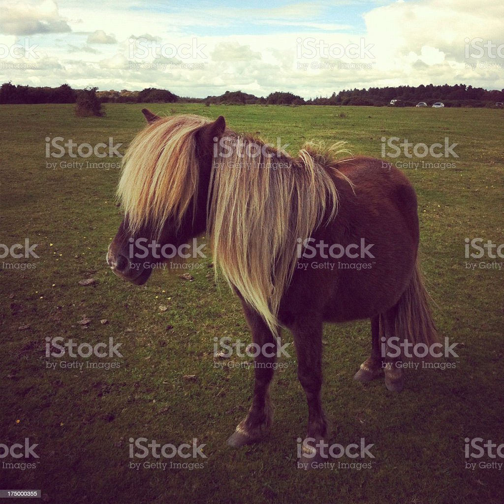 Wild pony grazing at The New Forest in Hampshire, England stock photo