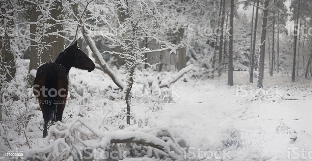 Wild pony in snow covered forest stock photo