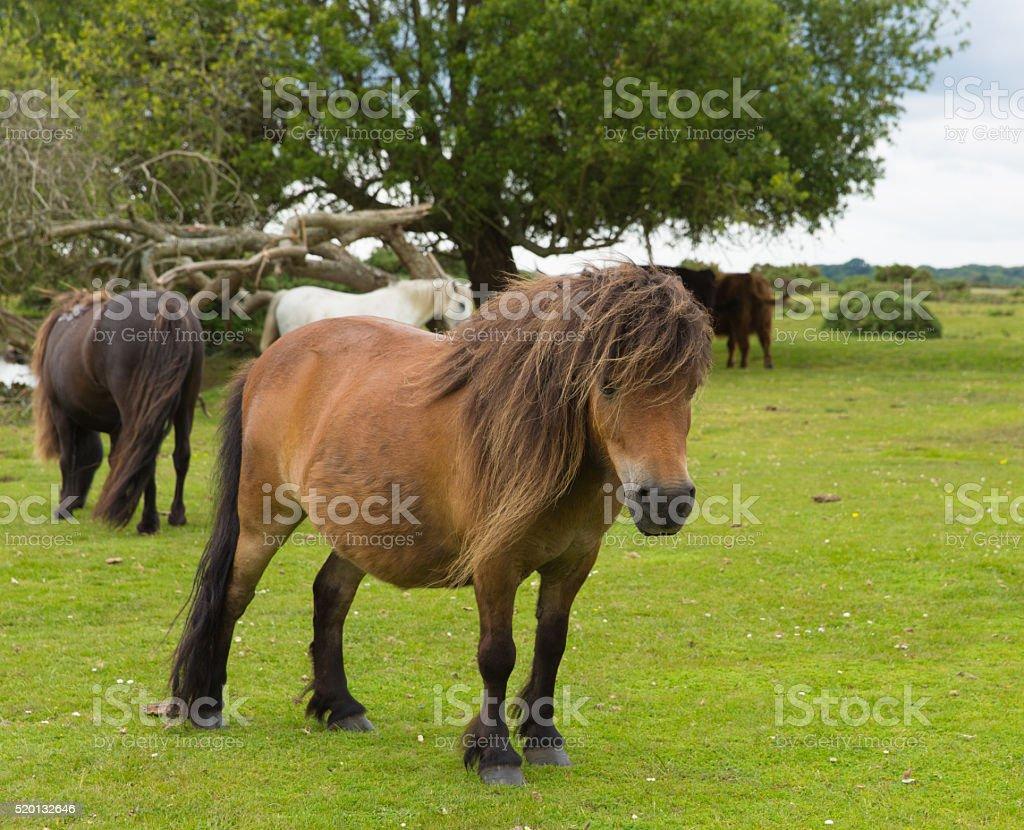 Wild pony New Forest Hampshire England UK stock photo