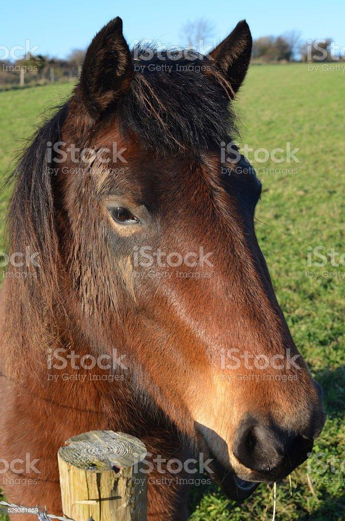 Wild pony on Ashdown Forest. stock photo