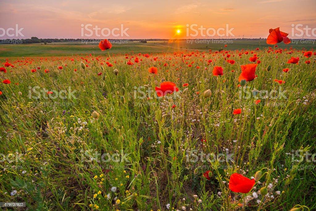 wild poppies and wild flowers stock photo