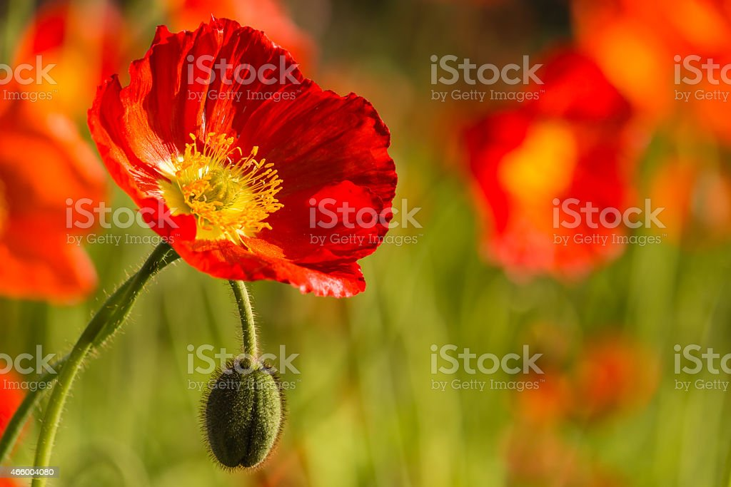 wild poppies growing on meadow stock photo