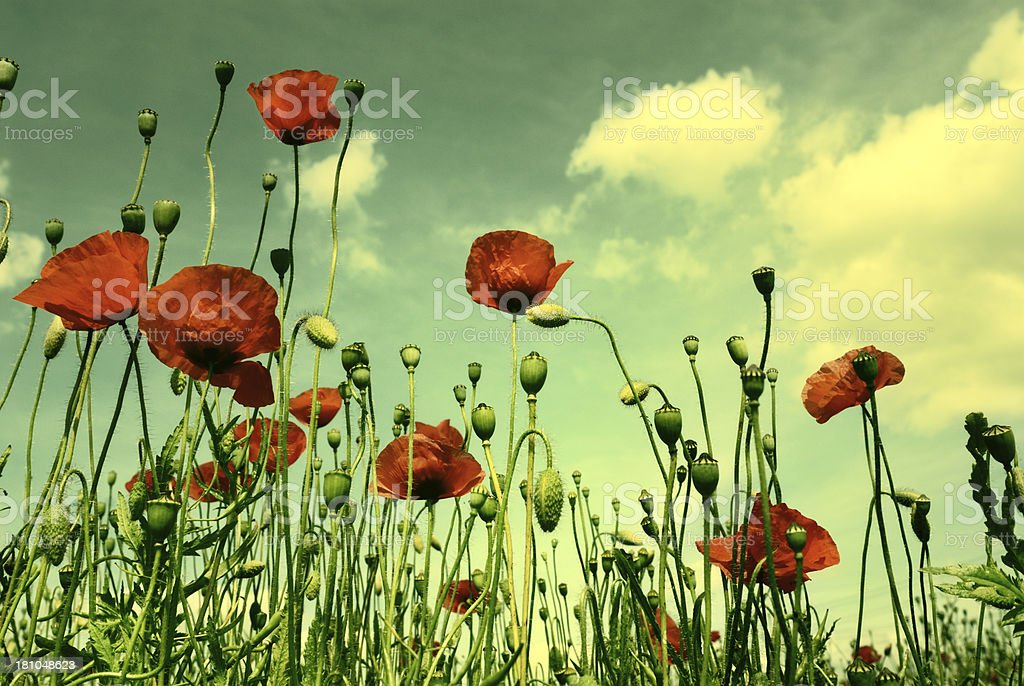 Wild Poppies stock photo