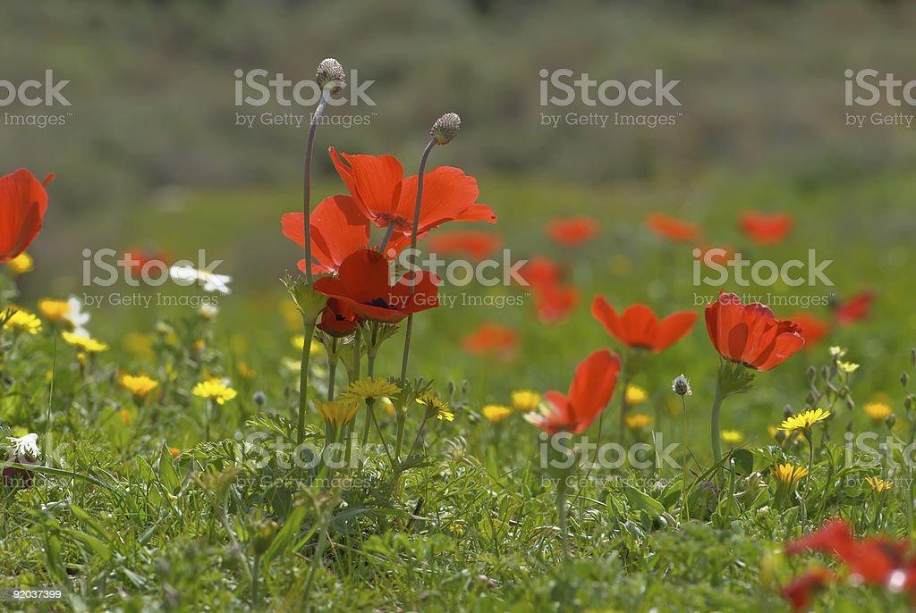 Wild poppies stock photo