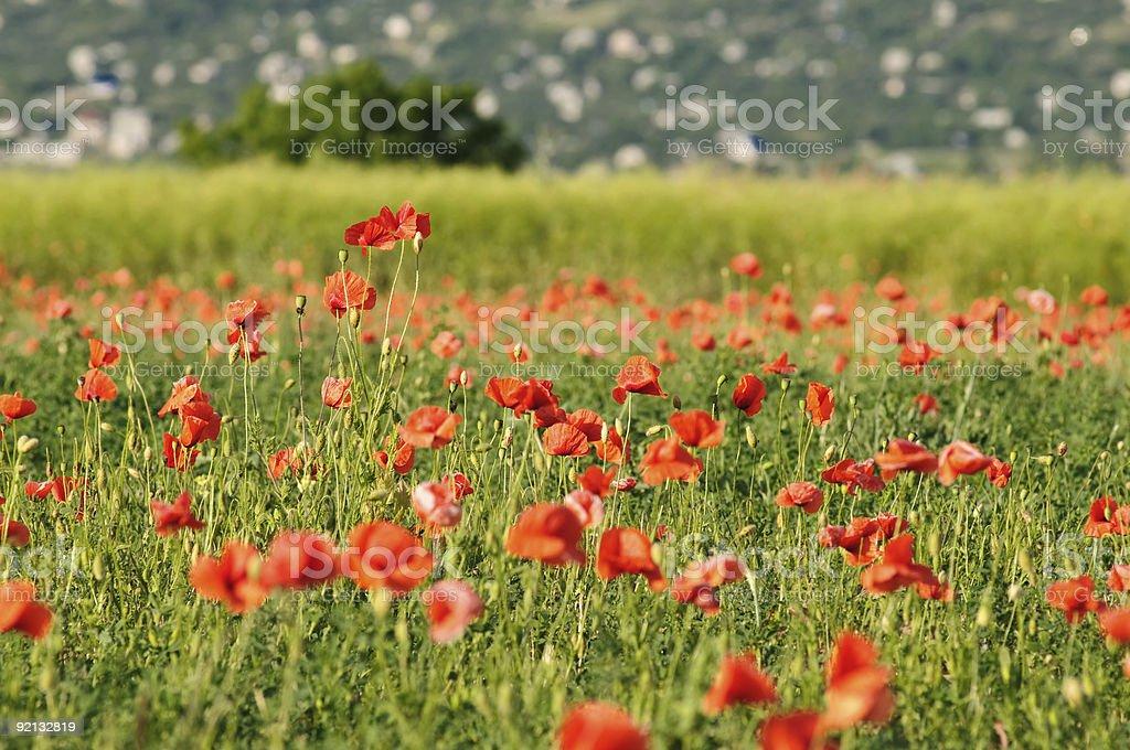 wild poppy field royalty-free stock photo