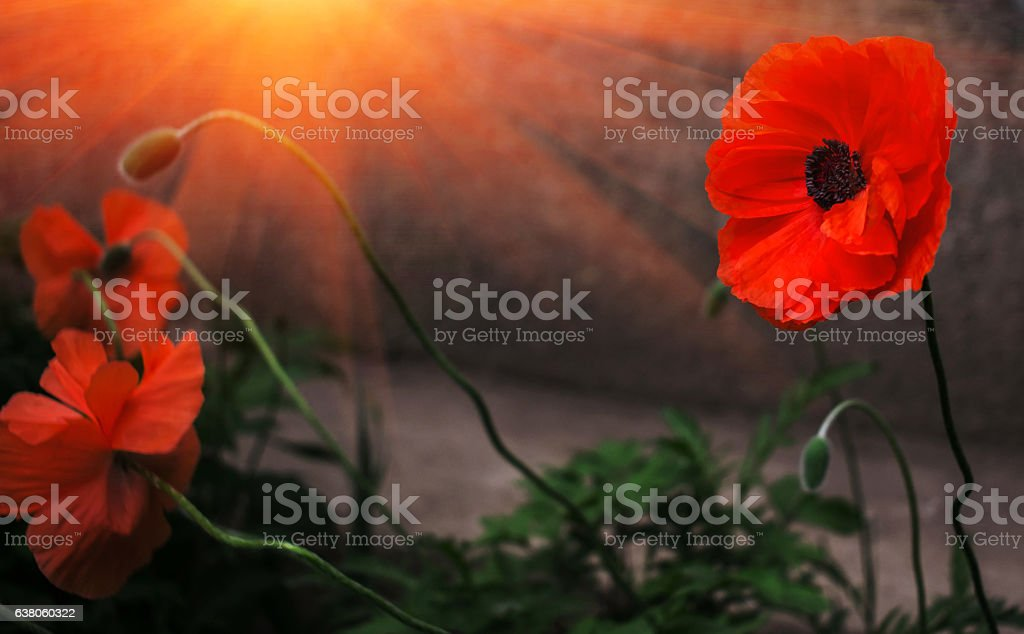 wild poppy flower in the sun. remembrance. stock photo
