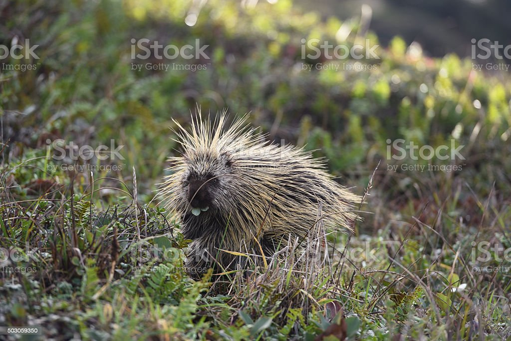 wild porcupine walking on green plants towards camera stock photo