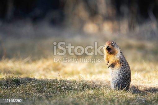 istock Wild Prairie Dogs 1151452292