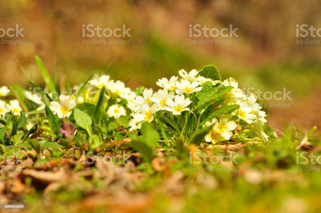 Wild Primrose (Primula vulgaris) grow in spring stock photo