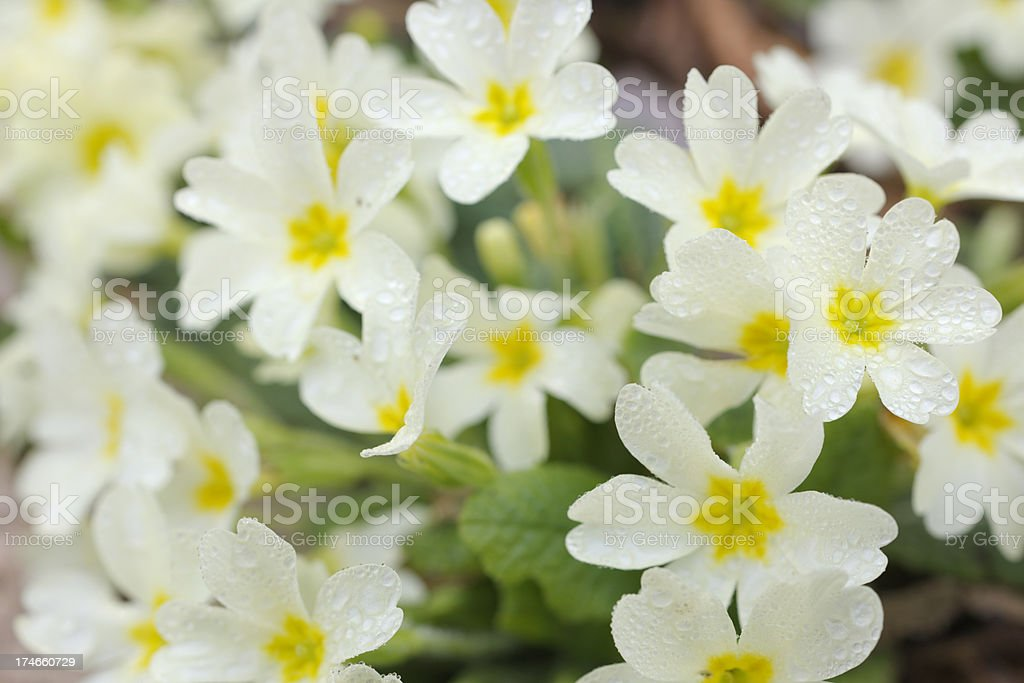 Wild Primroses with Dewdrops on Flower Petals stock photo