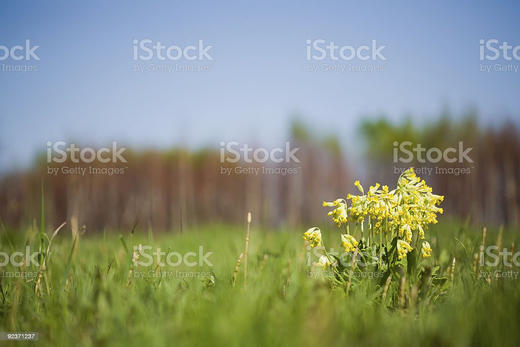 wild primula royalty-free stock photo