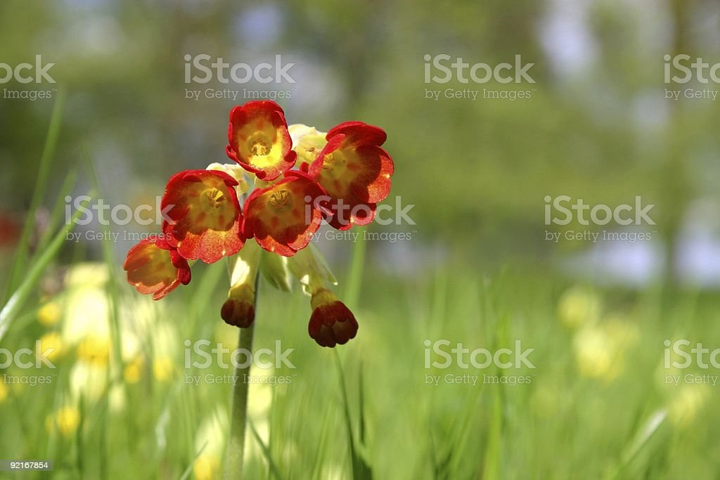 wild primula series: landscape with meadow background royalty-free stock photo