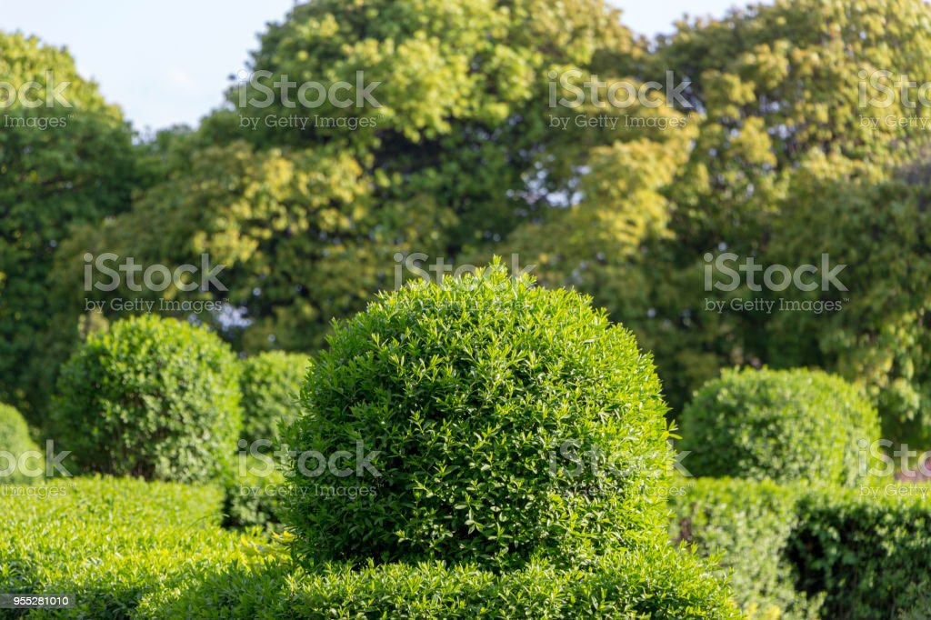 Wild Privet Ligustrum hedge close up nature texture A sample of...