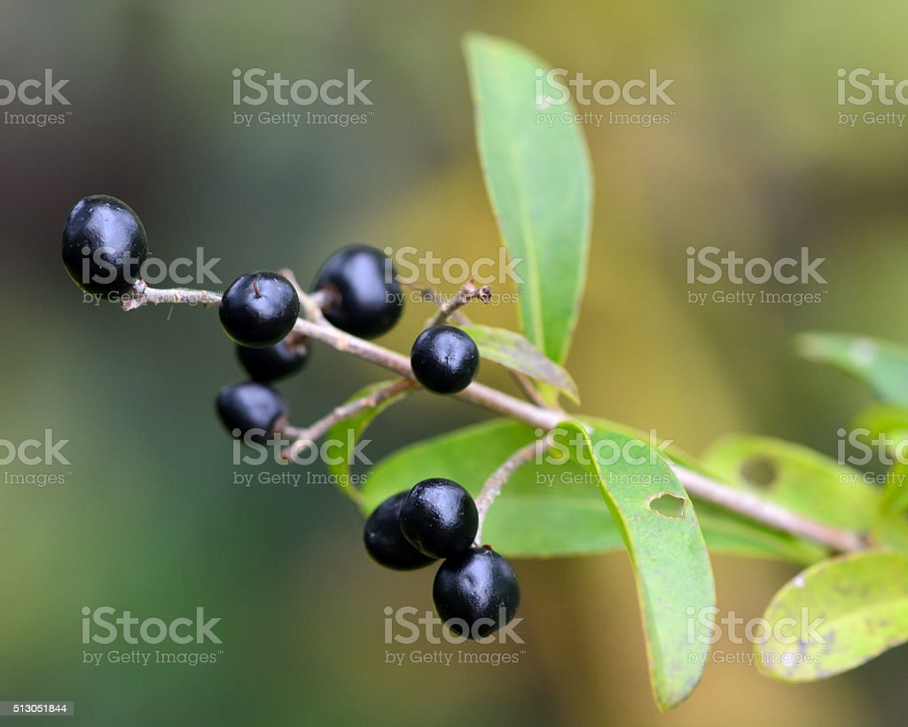 Wild privet (Ligustrum vulgare) stock photo