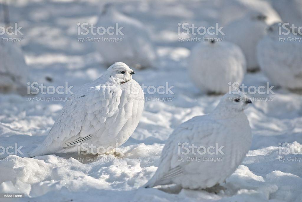Wild Ptarmigan in the arctic snow stock photo