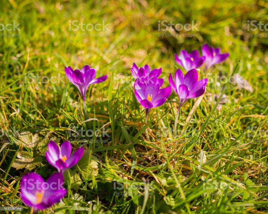 Wild Purple Crocus Flowers On The River Bank Stock Photo
