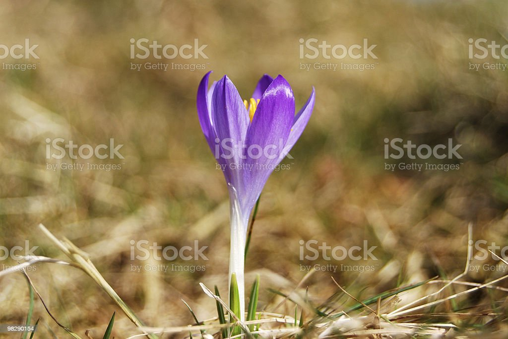 Wild Purple Crocus royalty-free stock photo