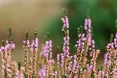 Wild purple flowers. Wild garden. Nature