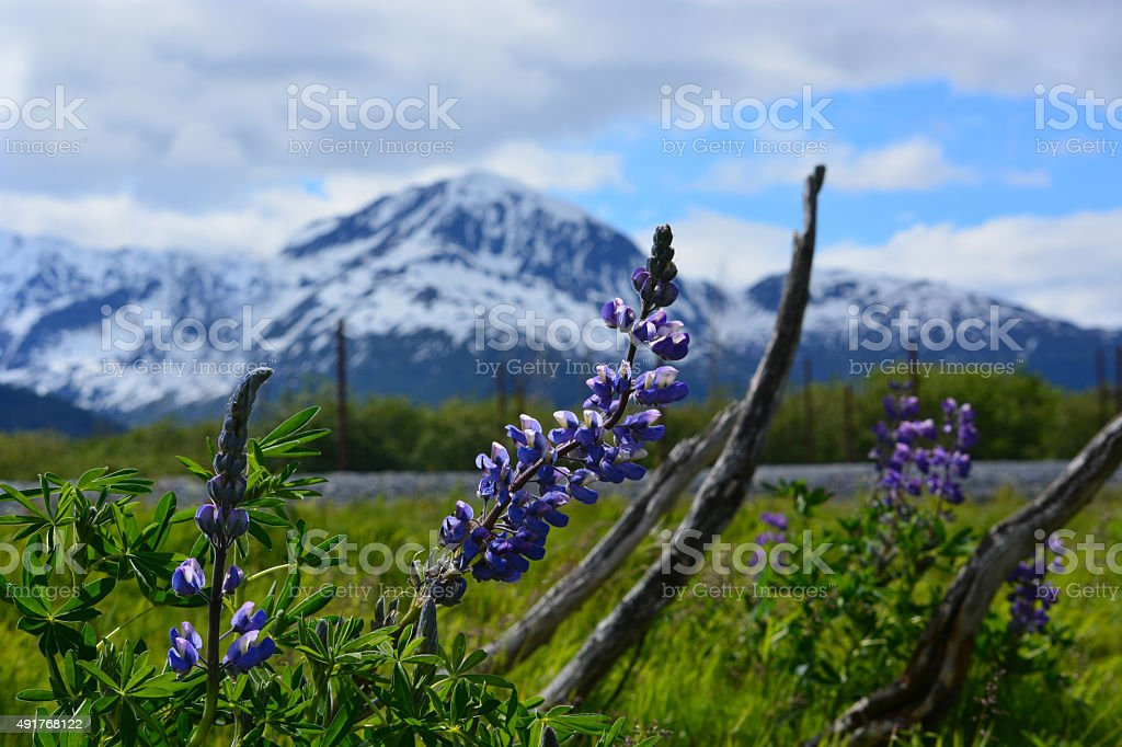 Wild Purple Lupines in Mountains stock photo