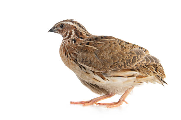 Wild quail, Coturnix coturnix, isolated on a white background stock photo