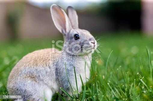 istock Wild rabbit close up on the grass 1261886035