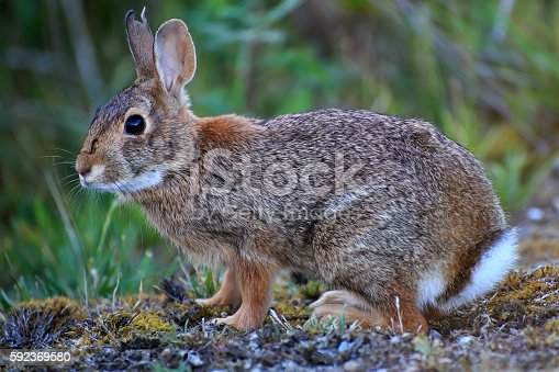 wild rabbit closeup