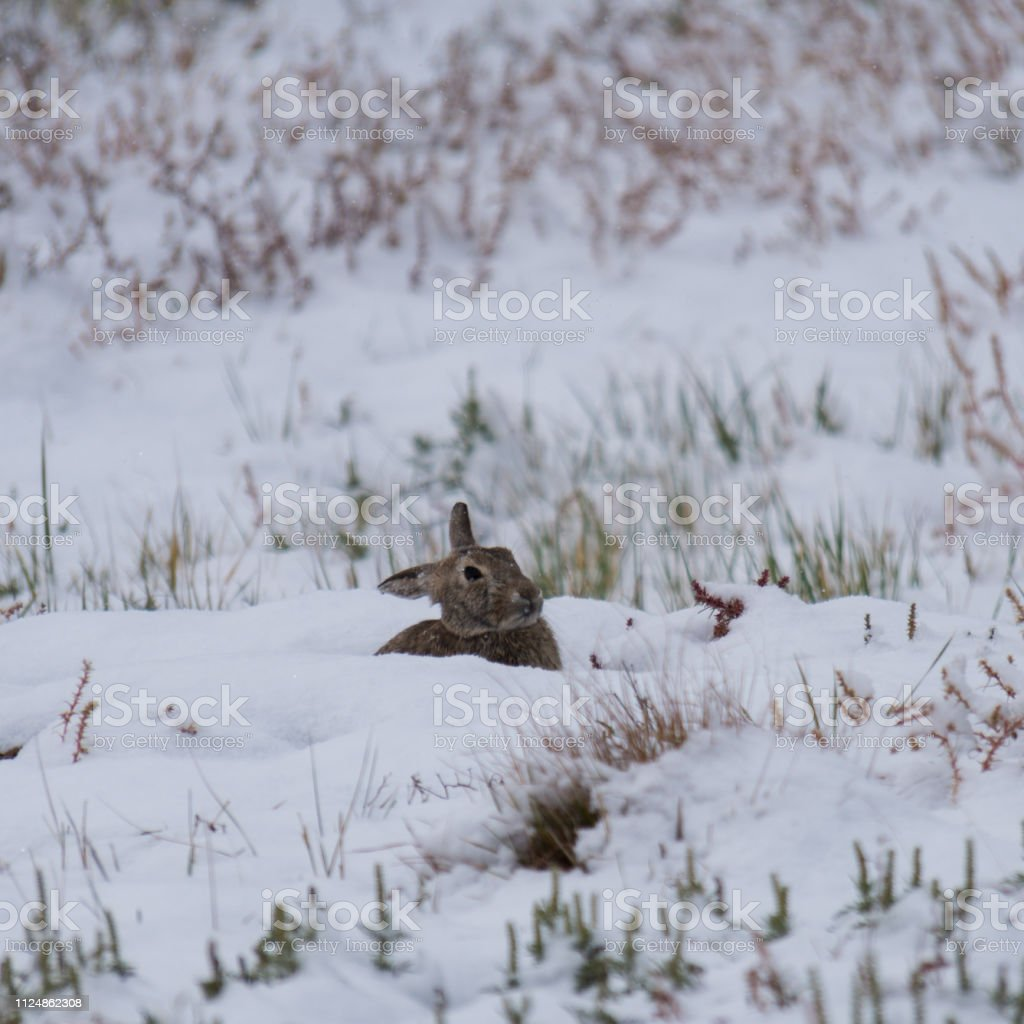 Wild Rabbit in snow stock photo