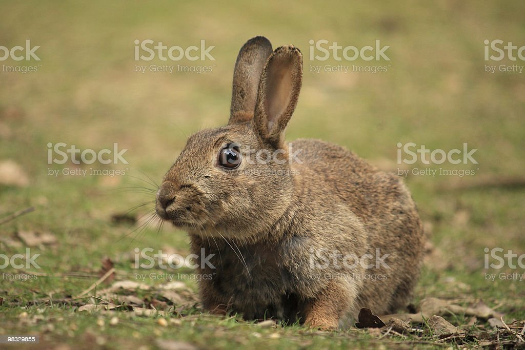 Wild rabbit looking up and sniffing the air royalty-free stock photo