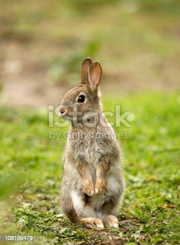 istock Wild Rabbit (Oryctolagus cuniculus) 108199479