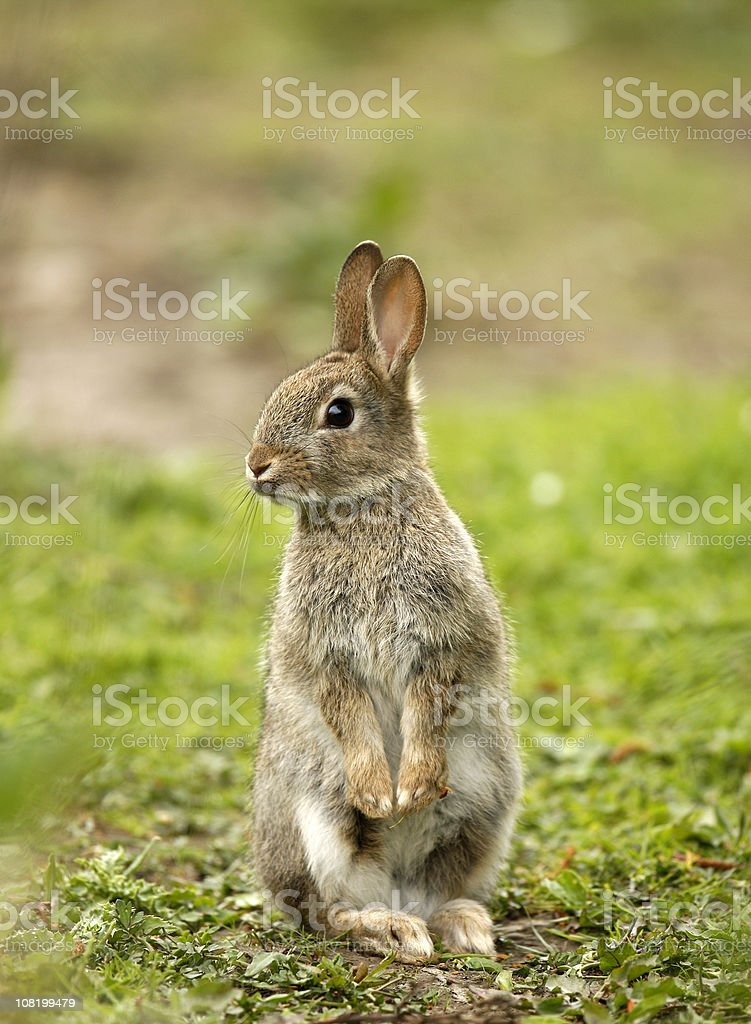 Wild Rabbit (Oryctolagus cuniculus) stock photo