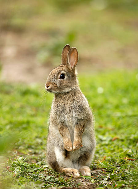 wild rabbit (oryctolagus cuniculus) - rabbit stock photos and pictures