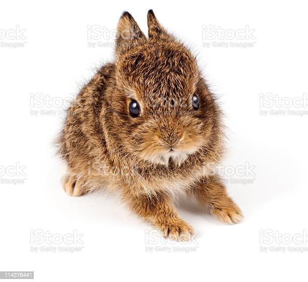 Wild rabbit picture id114276441?b=1&k=6&m=114276441&s=612x612&h=yw4abaiyoirvr1bzjc7t8ejx315fg7sjbjmaxtxunjg=