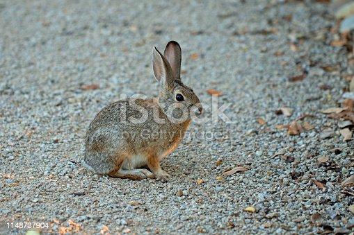 grey wild rabbit with sunlight highlights