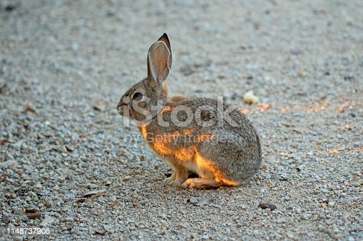 grey wild rabbit with sunlight highlights