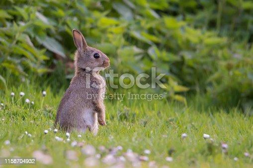 istock Wild rabbit 1158704932