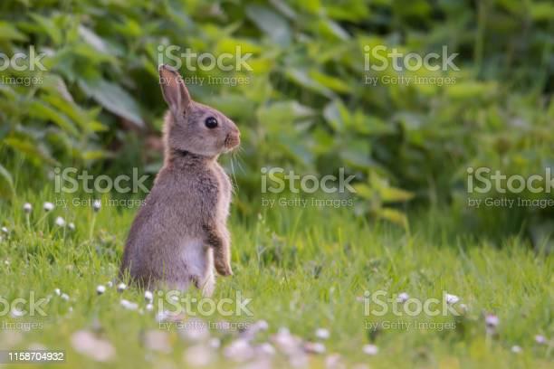 Wild rabbit picture id1158704932?b=1&k=6&m=1158704932&s=612x612&h=6x5sevfywsjf3k6x48j1nepmqvff9h4cdrduw5i7nx0=