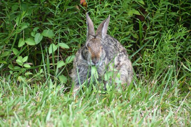 Wild Rabbit stock photo