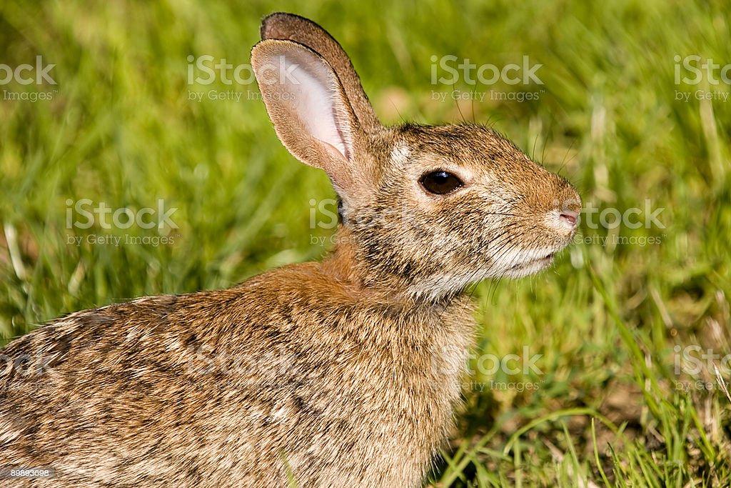 Wild Rabbit royalty-free stock photo