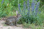 Wild rabbit sitting next to blueweed.