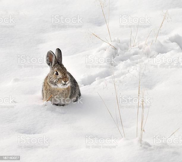 Wild rabbit sitting in the snow picture id182160027?b=1&k=6&m=182160027&s=612x612&h= 2g0blpipj7byjjvy44niup4 683 fr3z7lo8ggpiae=