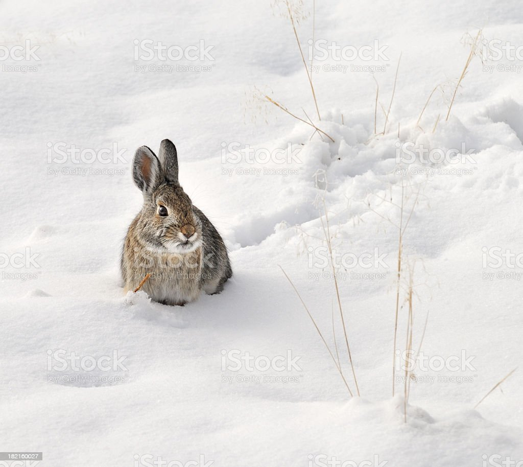 Wild rabbit sitting in the snow stock photo
