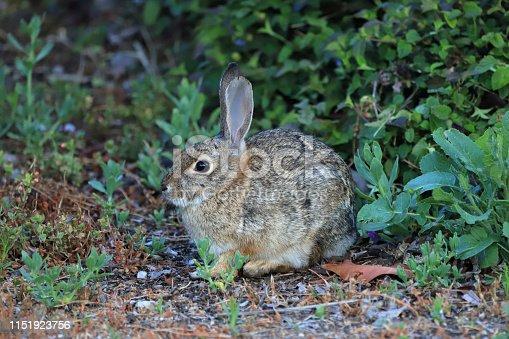 Wild rabbit (Hare), Wild Bunny found at Moorpark, CA (Southern California Area)